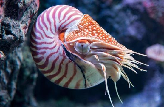 org-chambered-nautilus