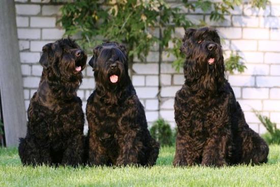 com-Black-Russian-Terrier