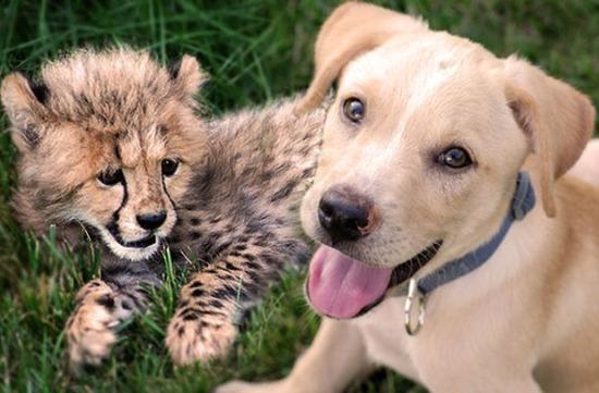 cheetah-and-puppy-151007