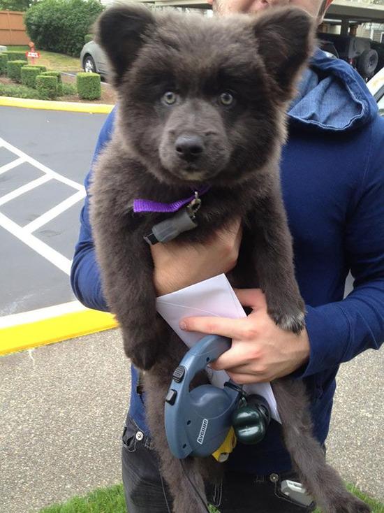 chubby-puppies-bear-cub-look-alikes-21__605