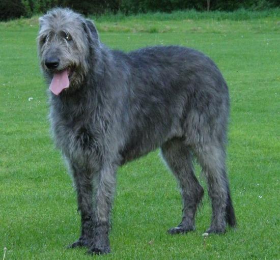 org-Irish_Wolfhound_3