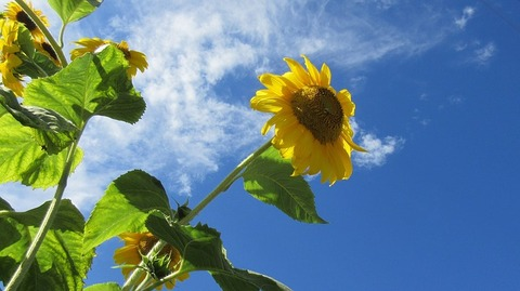 sunflower-1579592_640
