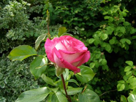 rose040610
