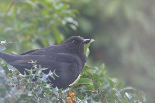 blackbird301010-1
