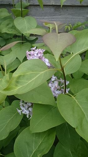 may16_lilac