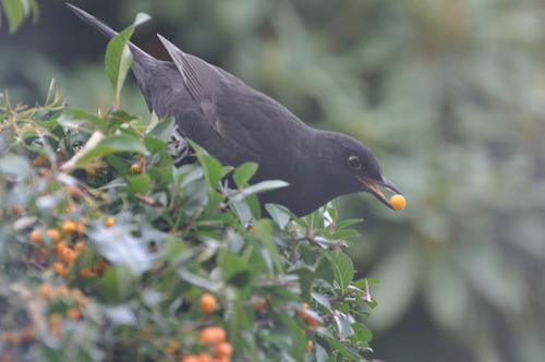 blackbird311010-2
