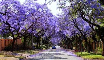 jacaranda-street
