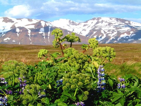 Angelica-and-lupines-in-Hrisey-1024x768