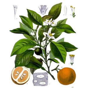 CitrusAurantium