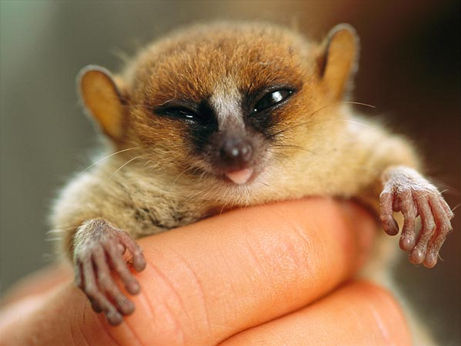 top-ten-most-threatened-forests-mouse-lemur-madagascar_32114_big