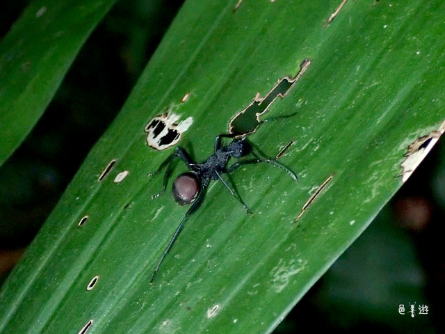 Polyrhachis sp