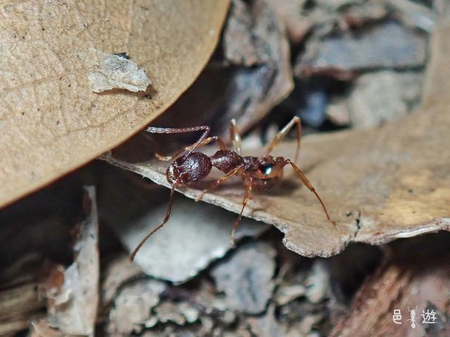 Aphaenogaster luteipes