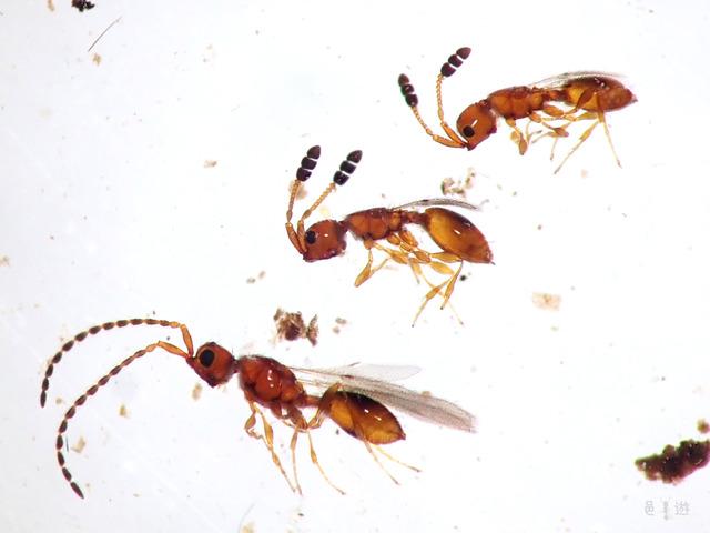 Diapriidae-litter3
