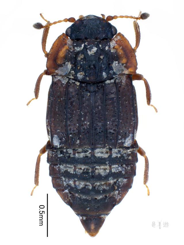 Micropeplus flavus japonicus