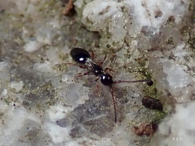 Diapriidae myrmeco