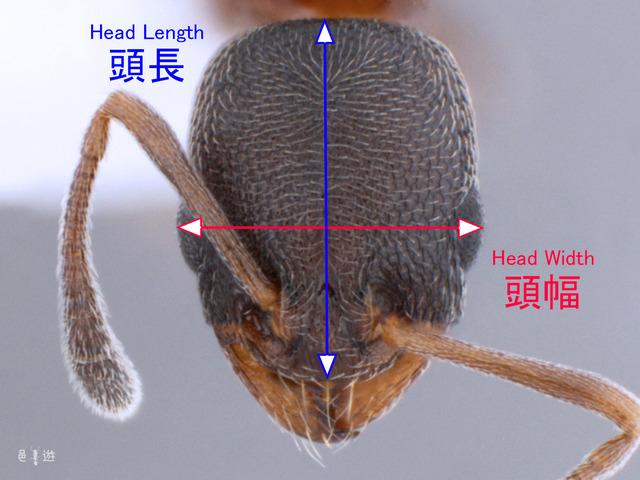 Cardiocondyla measurement of Head