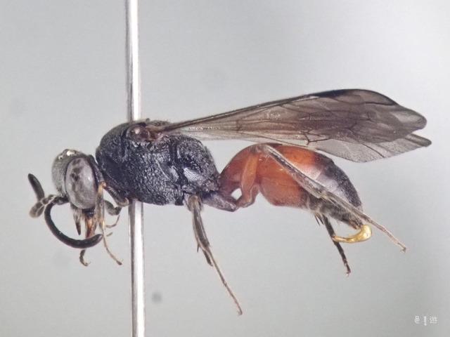 Nippononysson-specimen