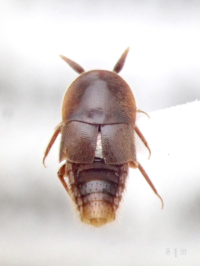 Aspidobactrus sp