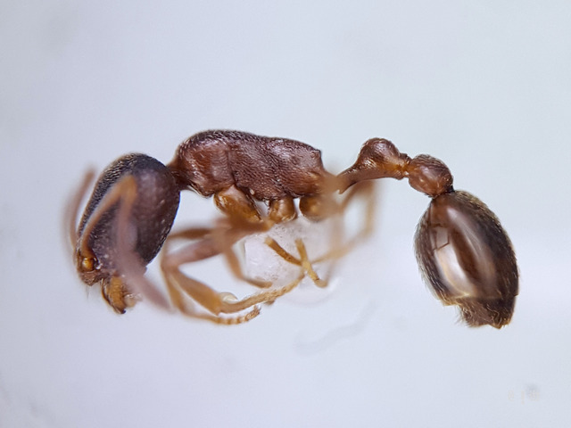 Cadriocondyla strigifrons