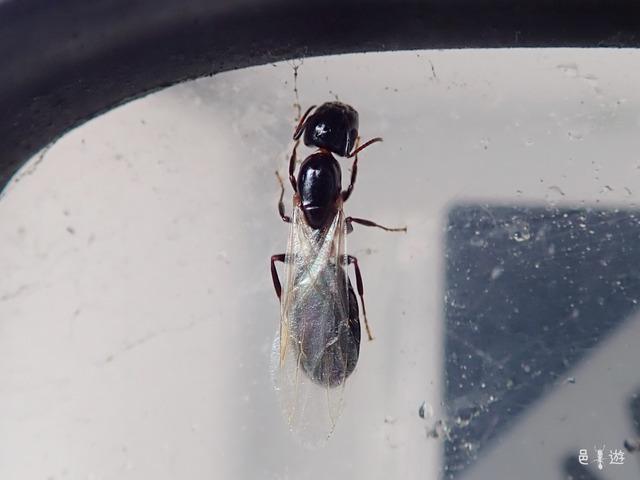 Camponotus vitiosus-female