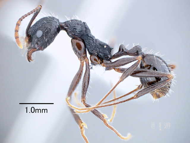 Aphaenogaster rugulosa