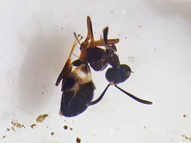 eupelmidae1