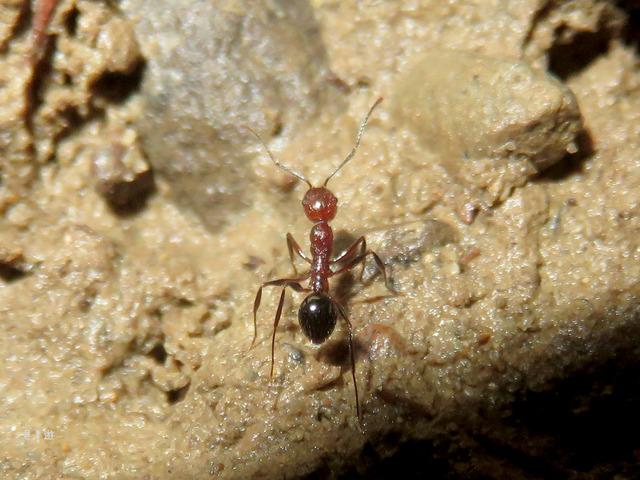 Aphaenogaster tipuna2