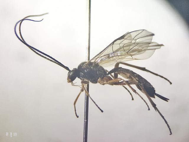 Astiphromma wasureta