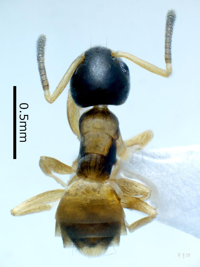 melanocephalum-d