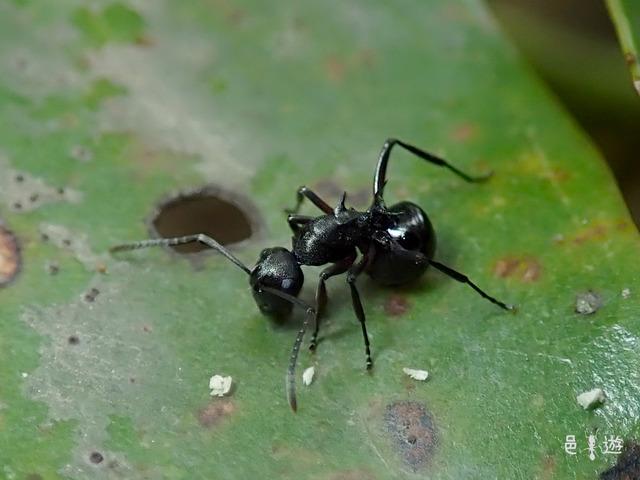 Polyrhachis moesta