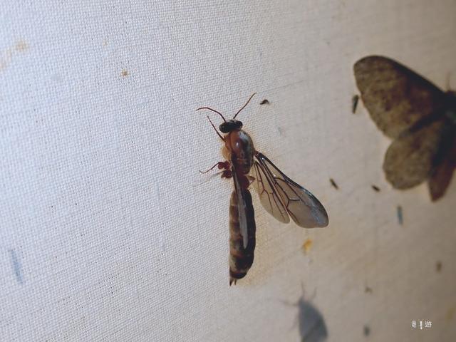 Dorylus-male