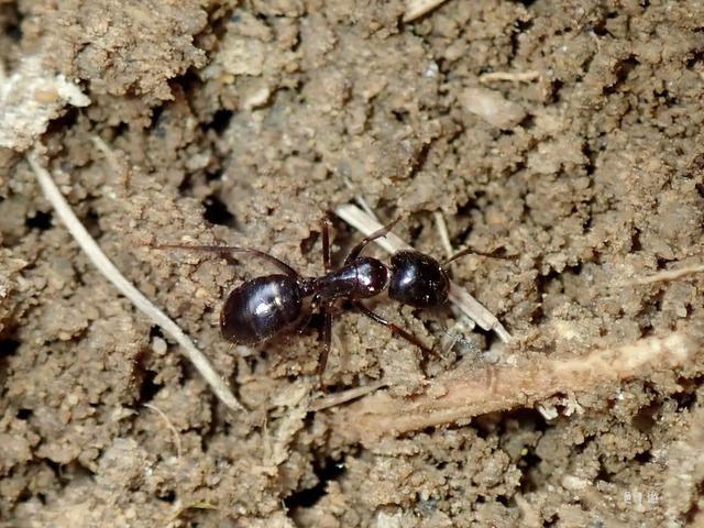 Camponotus friedae-3