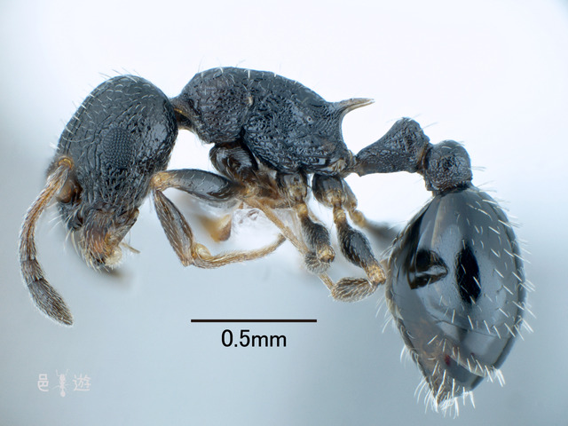 Temnothorax spinosior
