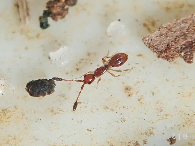 Diapriidae-litter