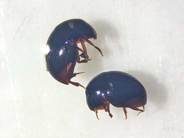 Agathidium (Agathidium) cariniceps