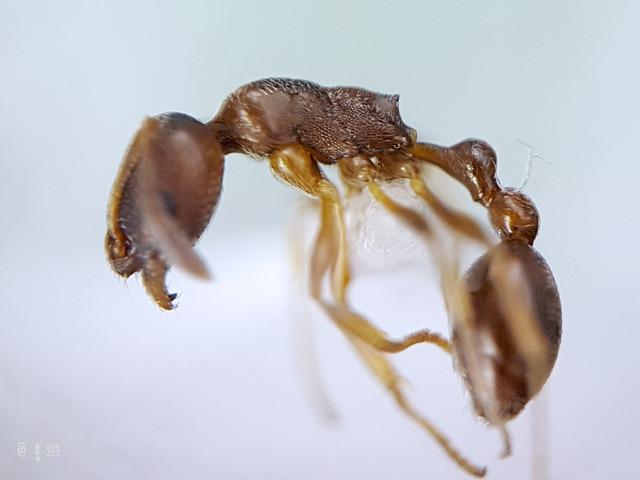 Cardiocondyla itsukii