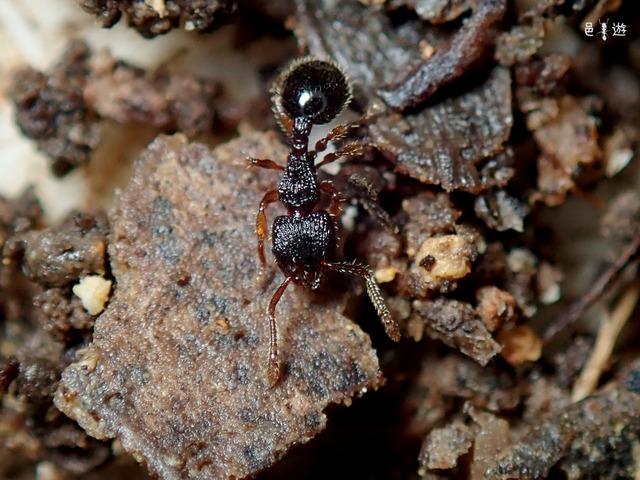 Myrmecina amamiana-3