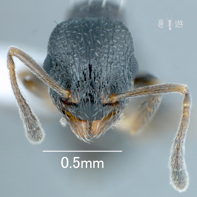 Temnothorax spinosior-H