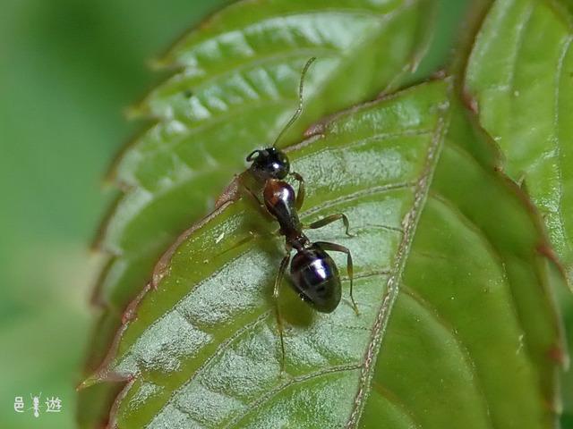 Camponotus yamaokai