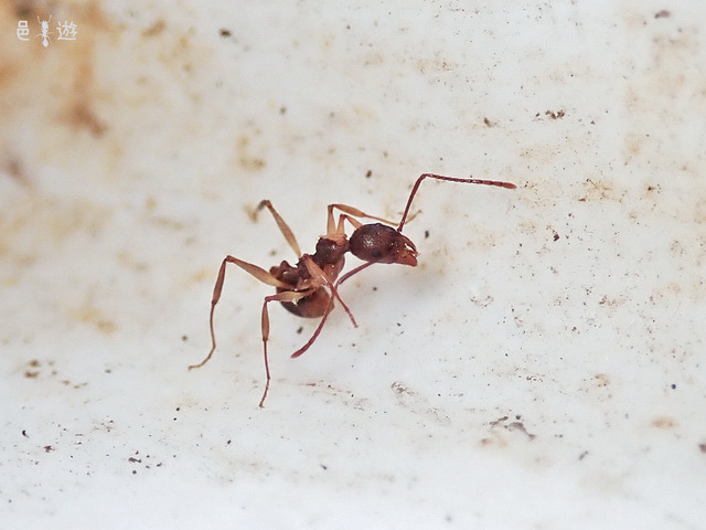 Aphaenogaster luteipes-3