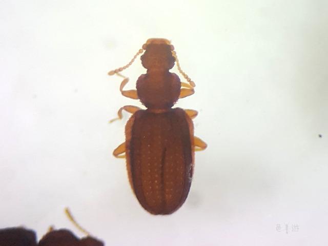 Lathridiidae sp,jpg