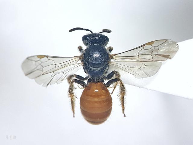 Lasioglossum apristum