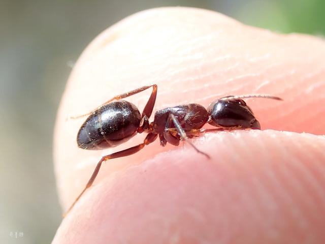 Camponotus friedae-2