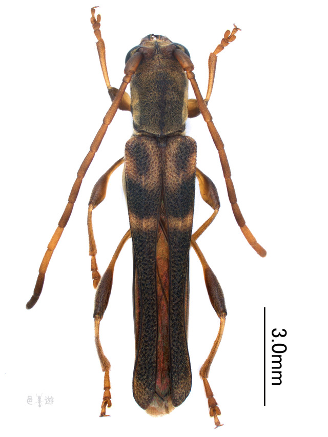 Thanius variegatus