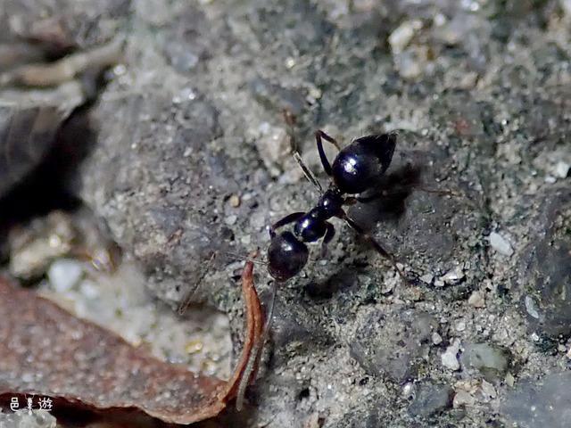 Nylanderia amia2