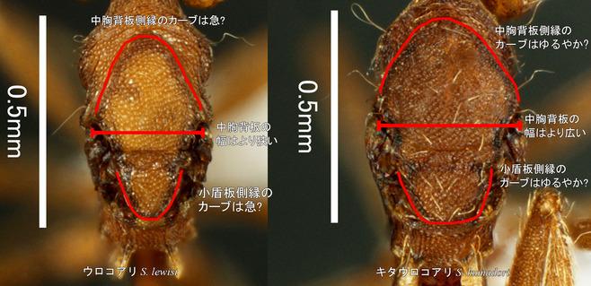 ウロコ女王胸部背面比較1