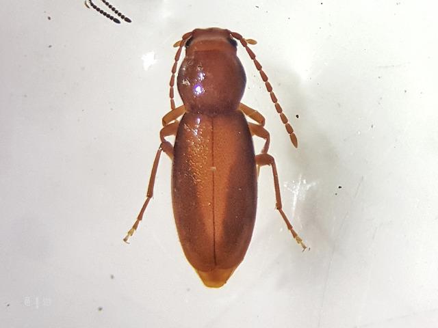 nipponomarolia matsuyamensis-
