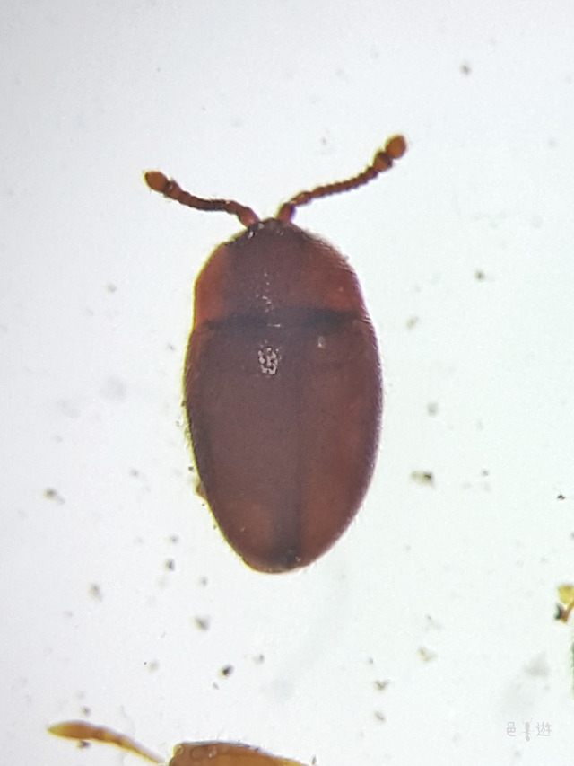 Sternodea japonica2
