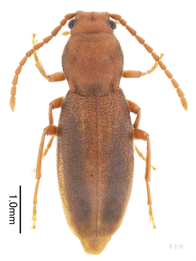 Nipponomarolia matsuyamensis