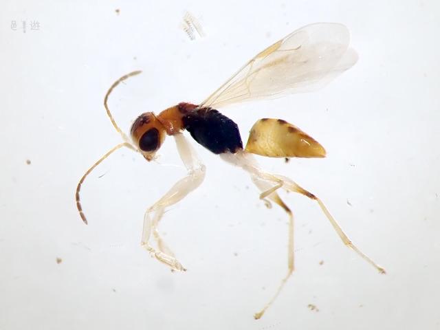 Anteon hirale-lateral